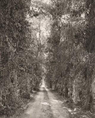 Eucalyptus alley through citrus orchards, Grand Terrace, California
