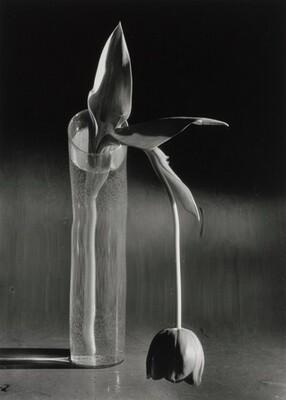 Melancholic Tulip, New York