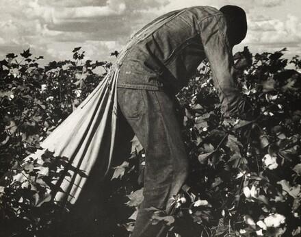 Stoop Labor in Cotton Field, San Joaquin Valley, California
