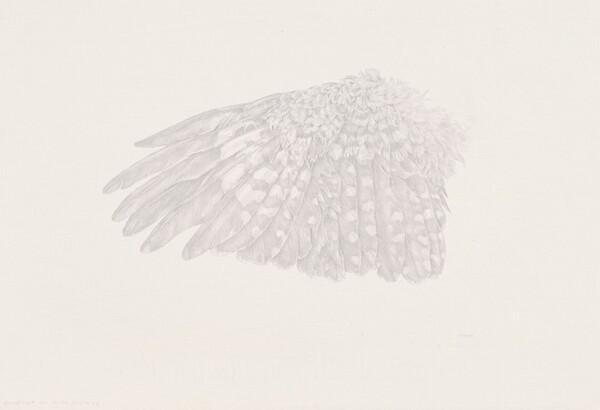 Downy Woodpecker Wing Study