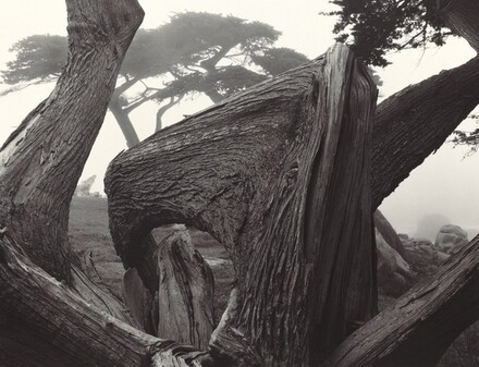 Cypress and Fog, Pebble Beach, California