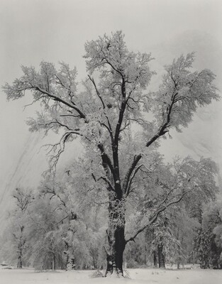 Oak Tree, Snowstorm, Yosemite National Park, California