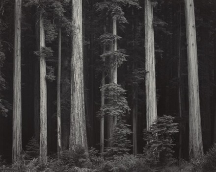 Redwoods, Bull Creek Flat, Northern California
