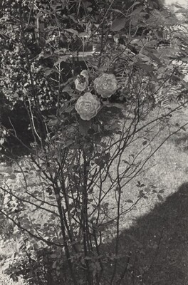 Rosebush with Leafy Background (Fort Lee,  New Jersey, 1972)