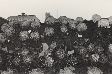 Chrysanthemums at Flower Market (Paris, 1972)