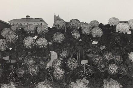 Chrysanthemums at Flower Market (Paris, 1972)