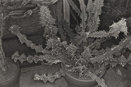 Cactus (Brooklyn Botanical Gardens, 1973)
