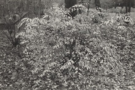 Kerria Japonica Shrub (New City, New York, 1974)
