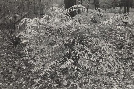 Kerria Japonica Shrub (New City, New York, 1974)