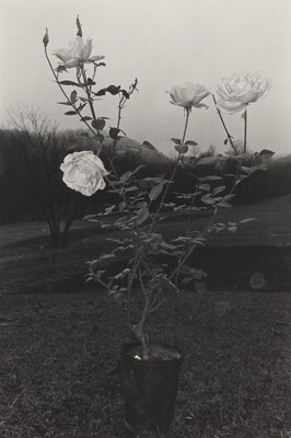 Potted Rose (Putney, Vermont, 1972)
