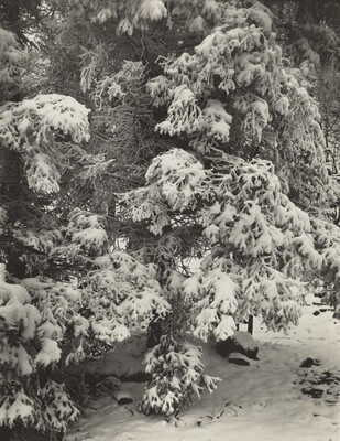 Untitled--Snow-Covered Tree