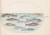 Plate 41: Whitefish(?) and Other Fish