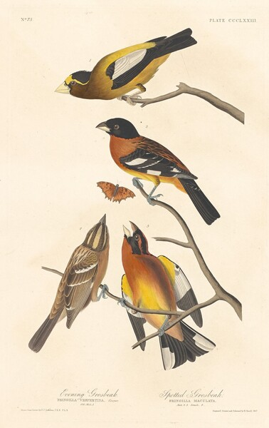 Evening Grosbeak and Spotted Grosbeak