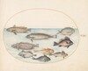 Plate 19: A Damselfish and Other Fish, Including Two