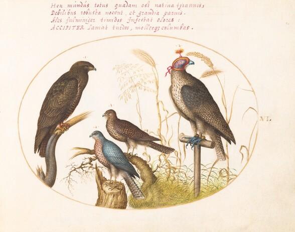 Plate 6: Four Birds of Prey, Including a Sparrowhawk(?)