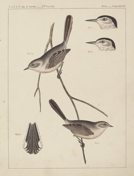 Birds - U.S.P.R.R. Exp. & Surveys, 35th Parallel