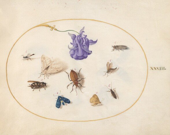 Plate 33: Moth and Butterfly with other Insects and a Columbine Flower