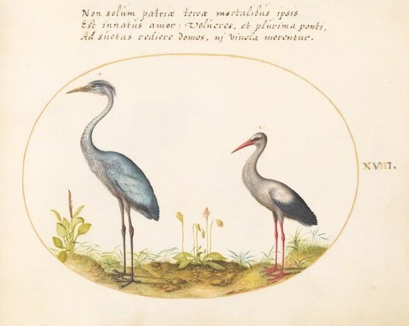 Plate 18: Heron and Stork
