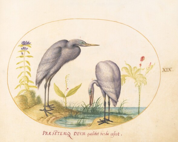 Plate 19: Two Great Egrets with Green Breeding Masks
