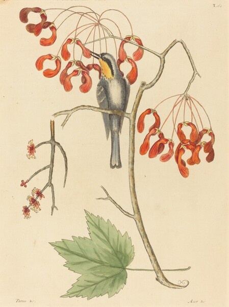 The Yellow Throated Creeper