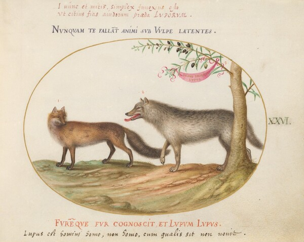 Plate 26: A Red Fox and a Wolf