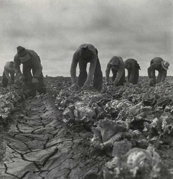 Filipinos cutting lettuce, Salinas Valley, California