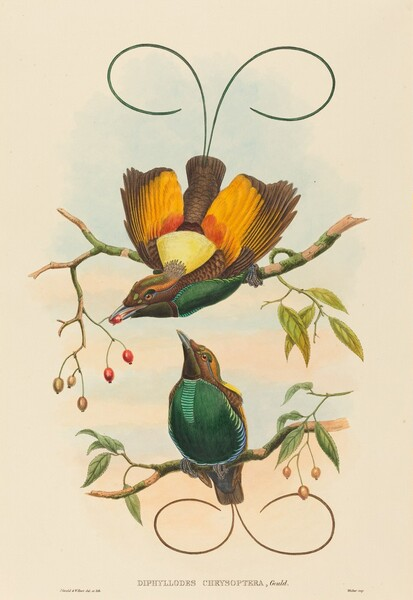 Diphyllodes chrysoptera (Magnificent Bird of Paradise)