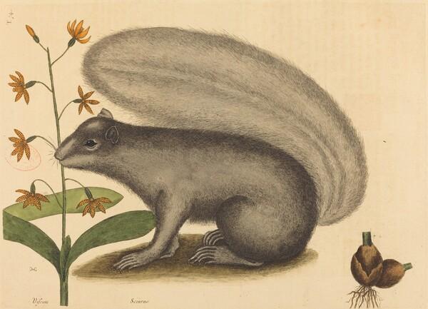 The Grey Fox Squirrel (Sciurus cinereus)