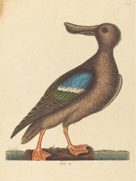 The Blue Winged Shoveler (Anas clypeata foemina)
