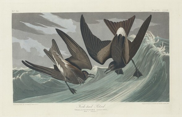 Fork-tailed Petrel