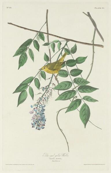 Blue-eyed Yellow Warbler
