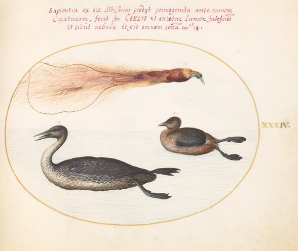 Plate 34: Bird of Paradise with Mereganser(?) and Grebe(?)