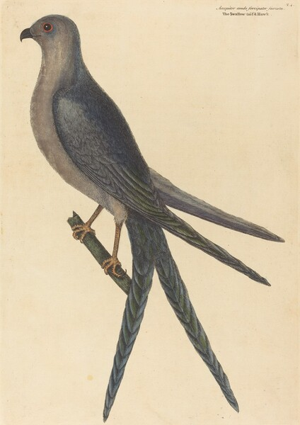 The Swallow Tail Hawk (Falco furcatus)