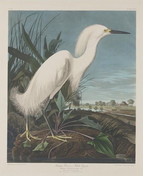 Snowy Heron, or White Egret