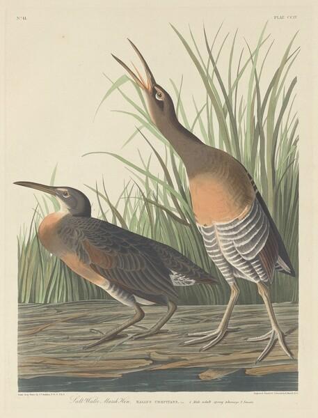 Salt Water Marsh Hen