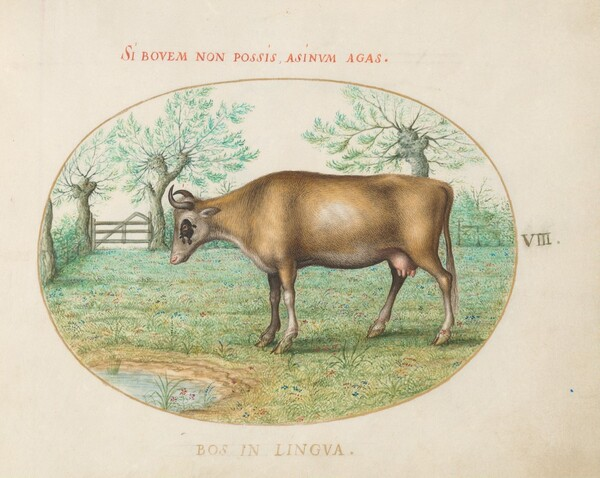 Plate 8: A Cow