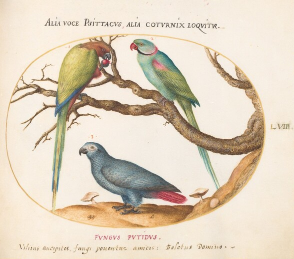 Plate 58: African Gray Parrot, Indian Ring-Necked Parrot, and a Third Parrot