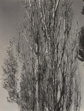 image: Poplars—Lake George