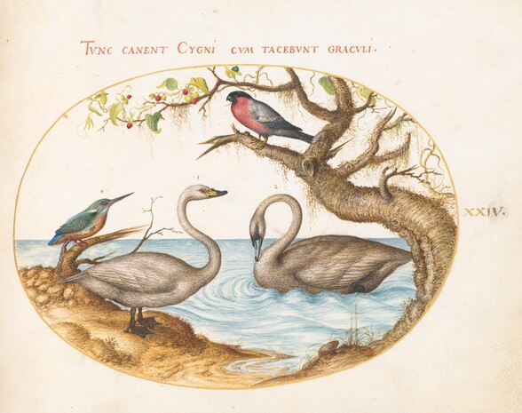 Plate 24: Two Swans, a Kingfisher, and a Bullfinch
