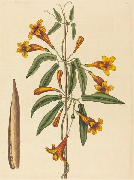 Cross-vine (Bignonia capreolata)