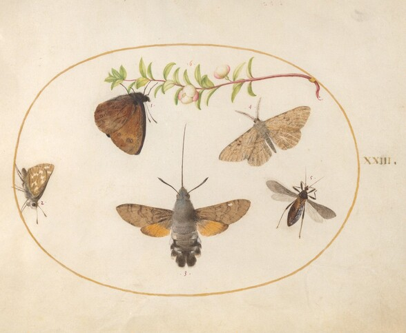 Plate 23: Hawk Moth, Butterflies, and Other Insects around a Snowberry Sprig