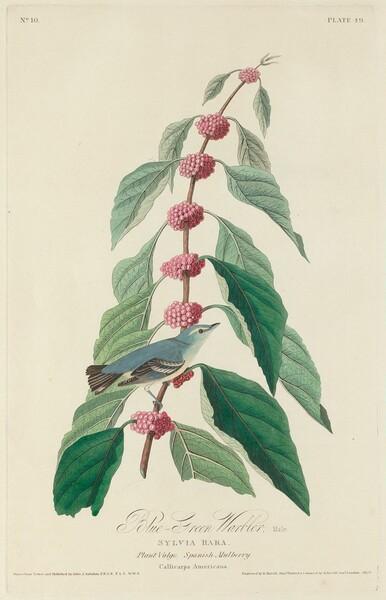 Blue-green Warbler