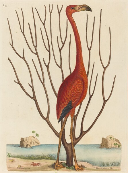 The Flamingo (Phoenicopterus ruber)
