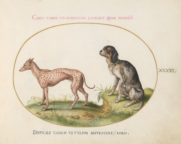 Plate 36: Two Spotted Hounds