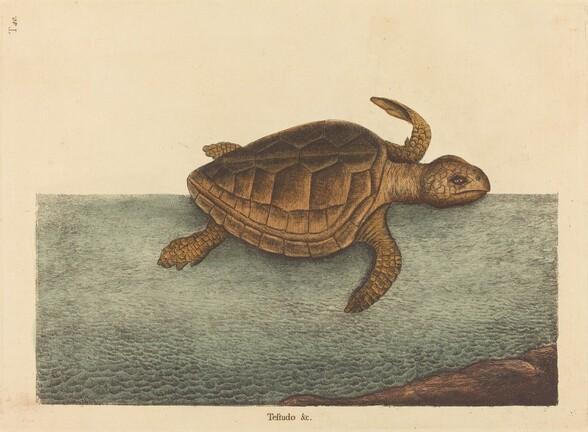 The Logger-head Turtle (Testudo Cavanna)