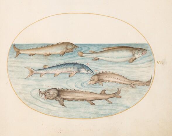 Plate 6: Five Catfish and Sturgeon(?)