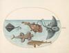 Plate 13: Two Stingrays, an Anglerfish, a Monkfish(?) and an  Angel Shark