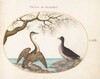 Plate 26: Cormorant and Coot
