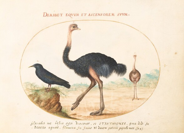 Plate 1: Two Ostriches and a Starling