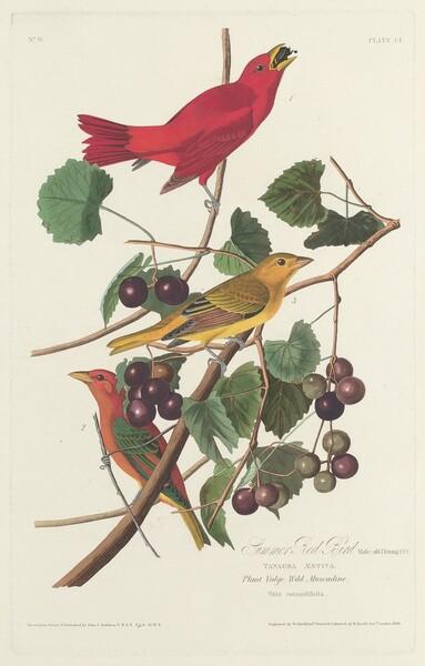 Summer Red Bird